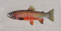 Oncorhynchus clarki lewisi or Westslope cutthroat trout, 28 count