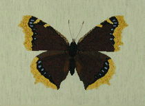 Nymphalis antiopa or Mourning Cloak